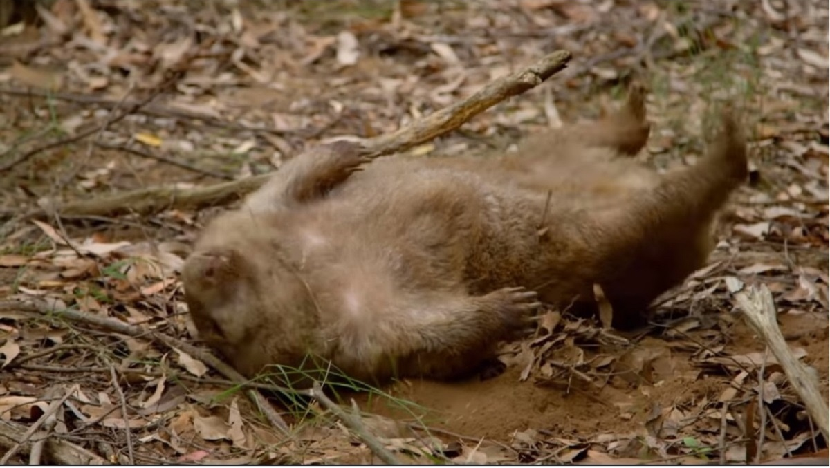袋熊挖地洞挖到睡著